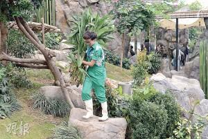 Matt正將給樂樂(下圖)食用的竹葉搬到展館各處供牠自行覓食,他笑指樂樂的食量是三隻大熊貓中最多。